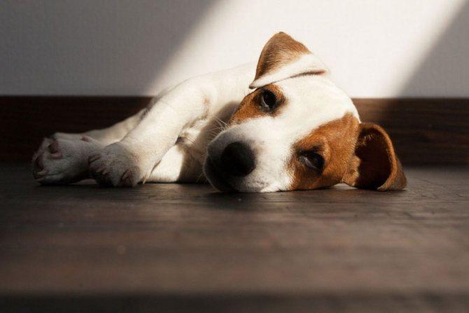 14 причин, почему собака не пьет воду: что делать, холодный нос, вялая и лежит