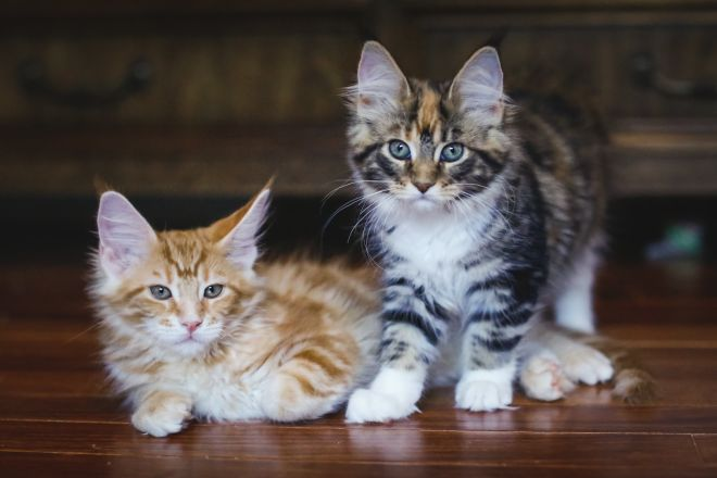 2 котенка мейн куна