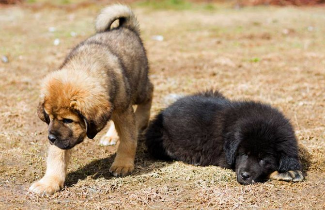 2 щенка