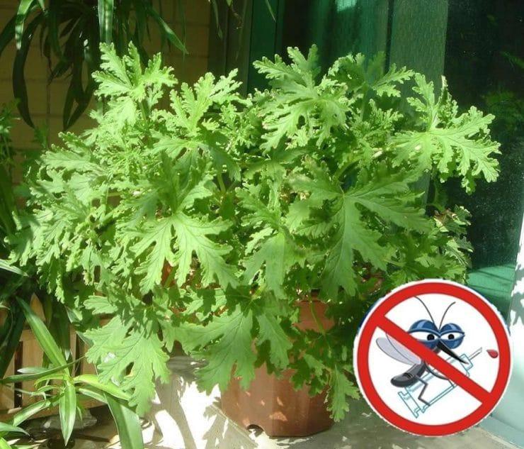 Растения отпугивающие комаров и мошек: травы, дерево, цветы