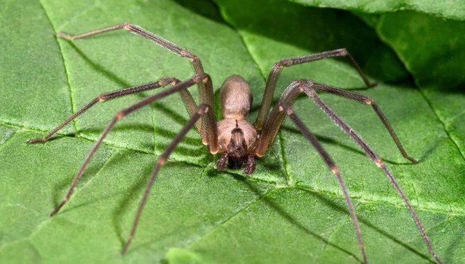 3. Чилийский паук-отшельник