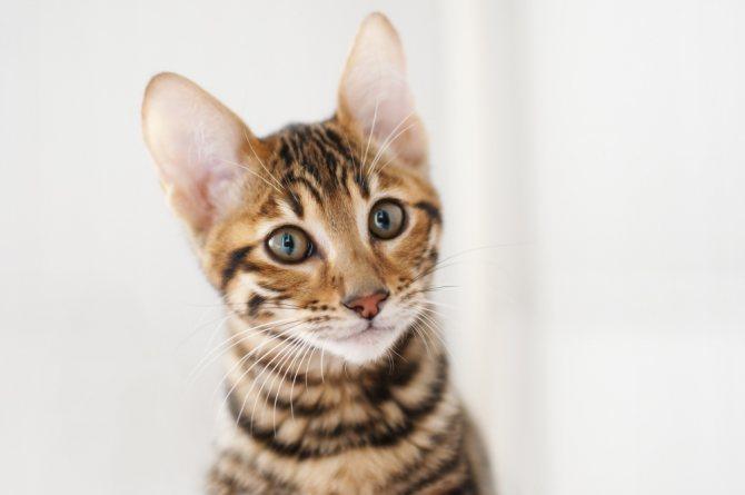 4 причины почему у кота пропал голос - что делать