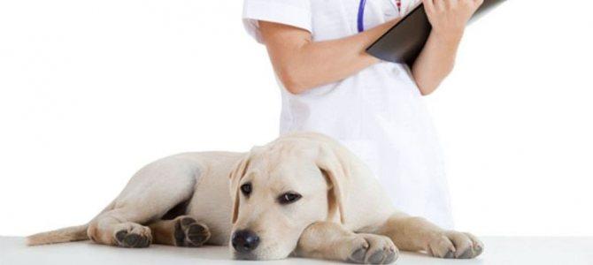 9 причин, почему собака много пьет воды и возможные заболевания