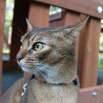 Абиссинская кошка на свободном выгуле.