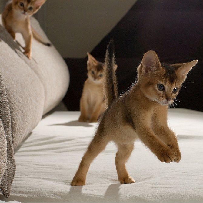 Абиссинские котята играют