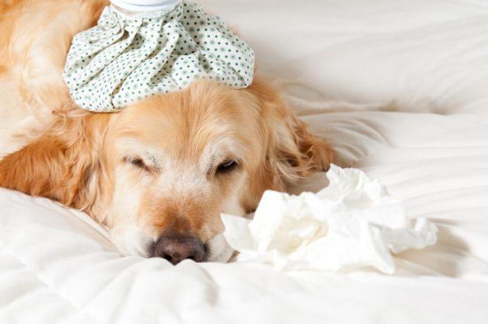 Абсцесс железы у собаки