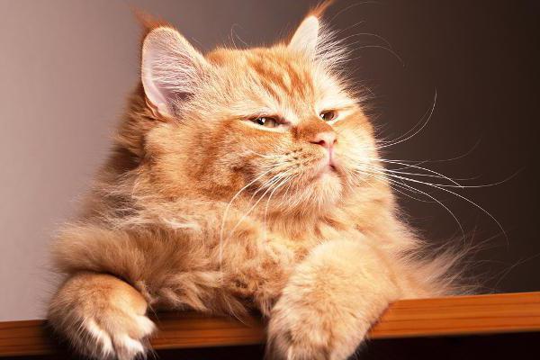 адвантейдж для котят
