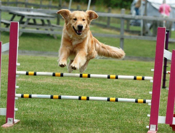 Аджилити для собак: фото, правила аджилити, классы, препятствия. Соревнования собак по аджилити. Снаряд для аджилити барьер