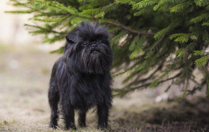 Аффенпинчер фото собаки