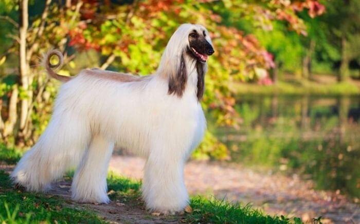 Афганская борзая самая глупая порода собак