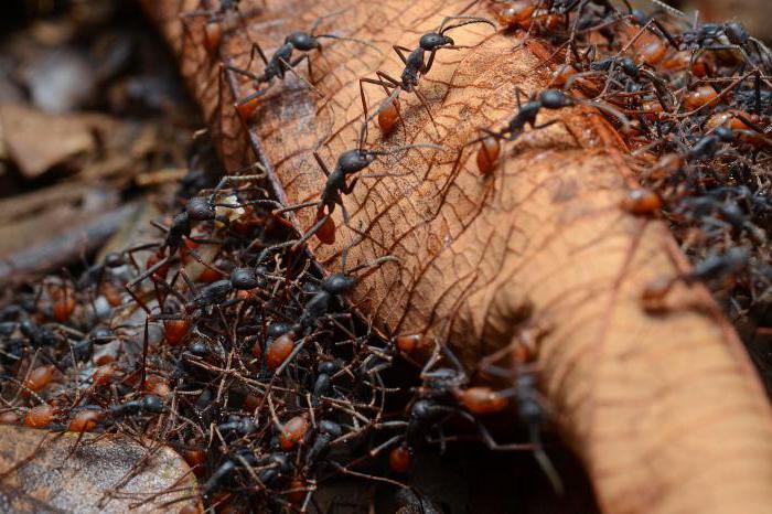 африканские кочевые муравьи