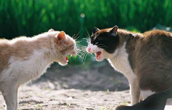 Агрессивные кошки в драке