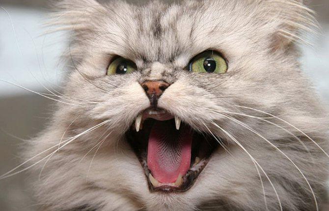 Агрессия у кота и кошек