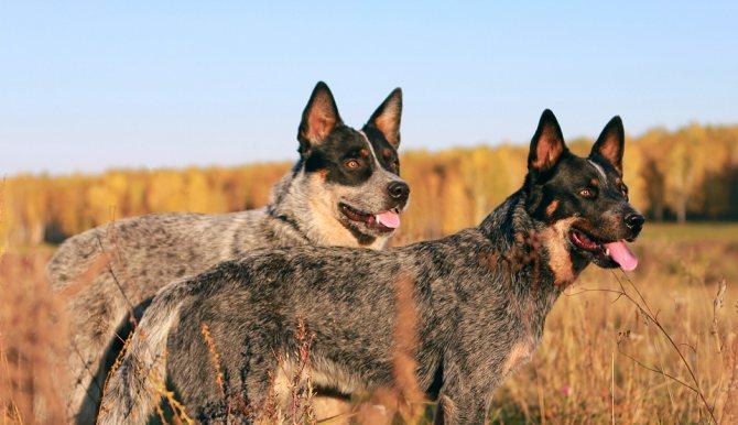 Активной пастушьей собаке нужен не менее активный хозяин
