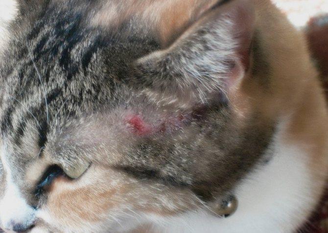 Аллергическая реакция у кота