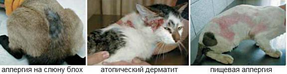 аллергия на корм у кошек симптомы фото