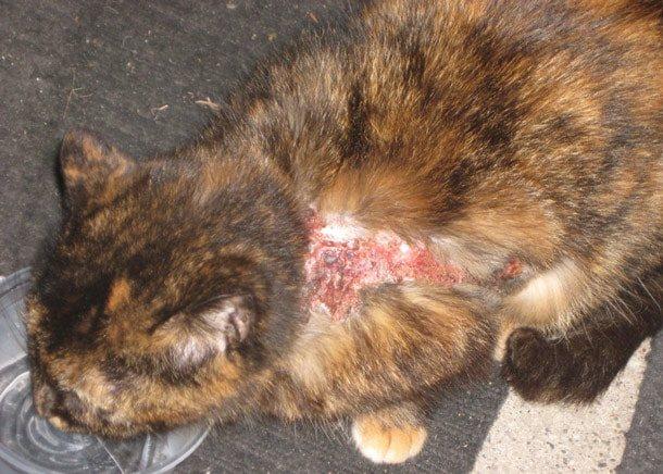 Аллергия на ошейник от блох у кошек