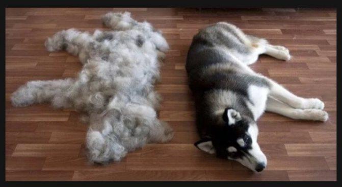 Аллергия на собаку: собачья шерсть