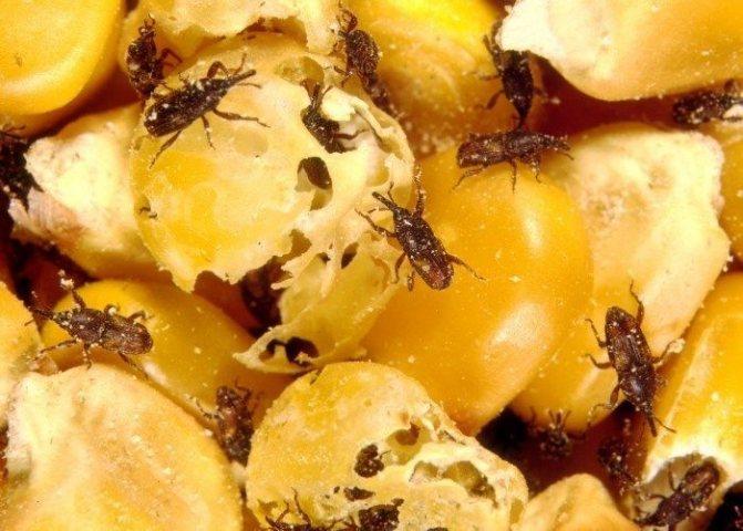 Амбарный долгоносик в зернах кукурузы