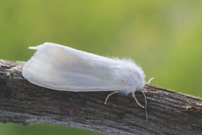 «Американская белая бабочка» фото - 01
