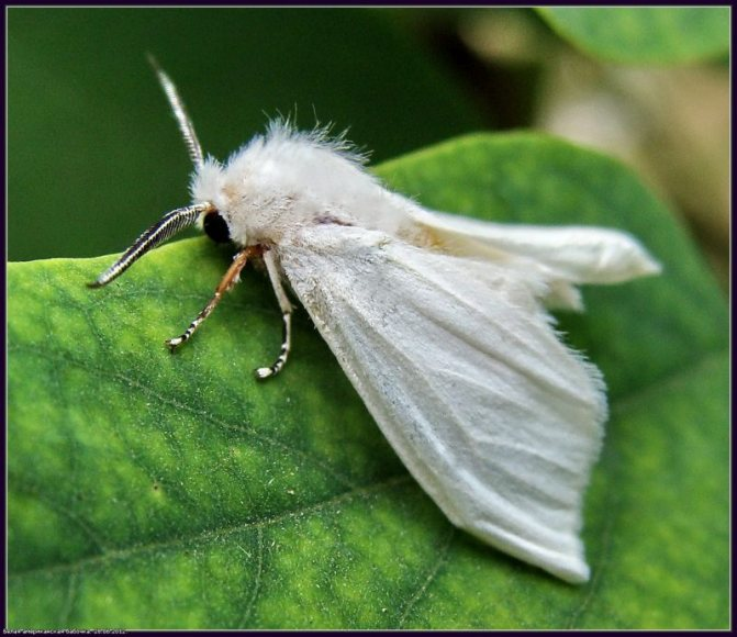 «Американская белая бабочка» фото - 4f4c7c17a6b6 800x692