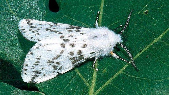 Американская белая бабочка Имаго