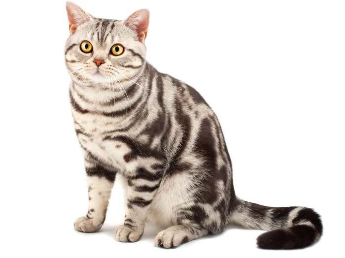 Американская короткошерстная кошка серо-голубого цвета