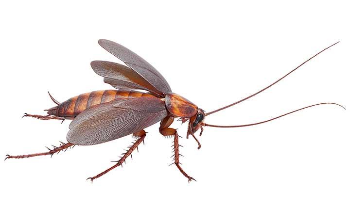 американский летающий таракан