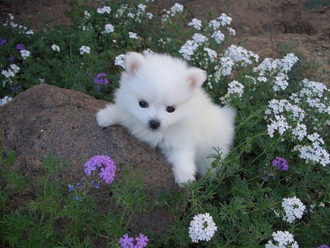 Американский шпиц - описание породы и характер собаки