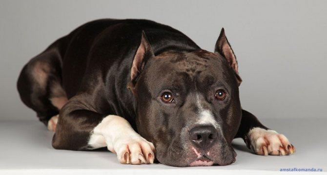 Американский стаффордширский терьер: фото собаки, цена, описание породы, характер, видео