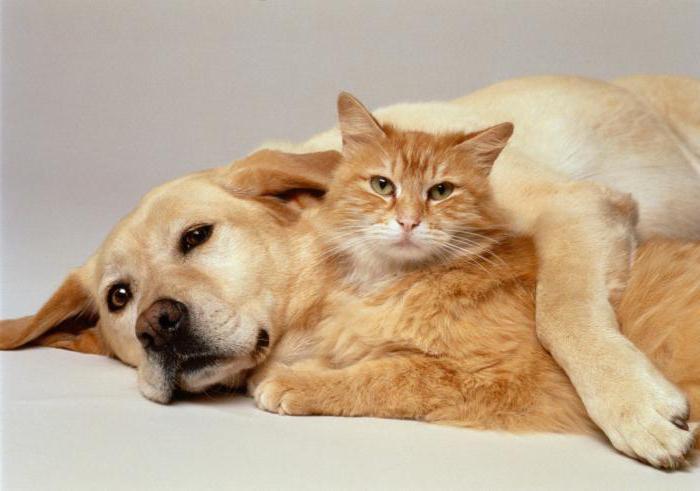 Амитразин для кошек
