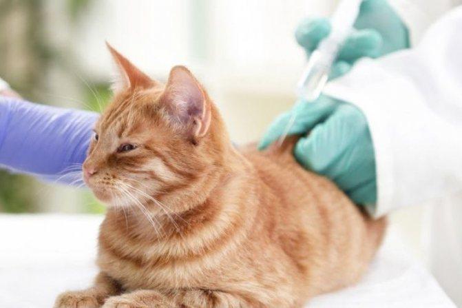 Амоксиклав для кошек дозировка суспензии