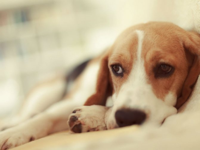 {amp}quot;Фунгин{amp}quot; - спрей для кошек и собак: инструкция по применению