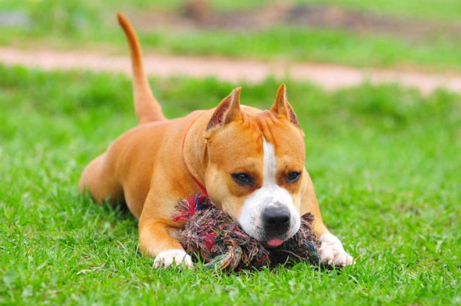 Амстафф щенок фото