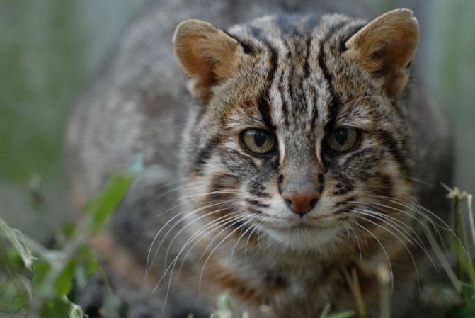 Амурский лесной кот фото
