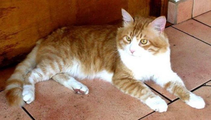 анатолийская кошка отзывы