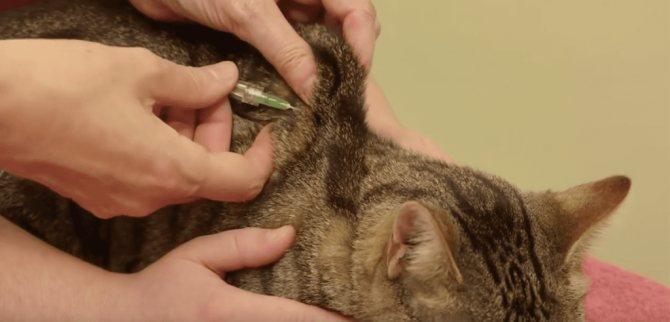 Анатомические особенности укола кошке в холку