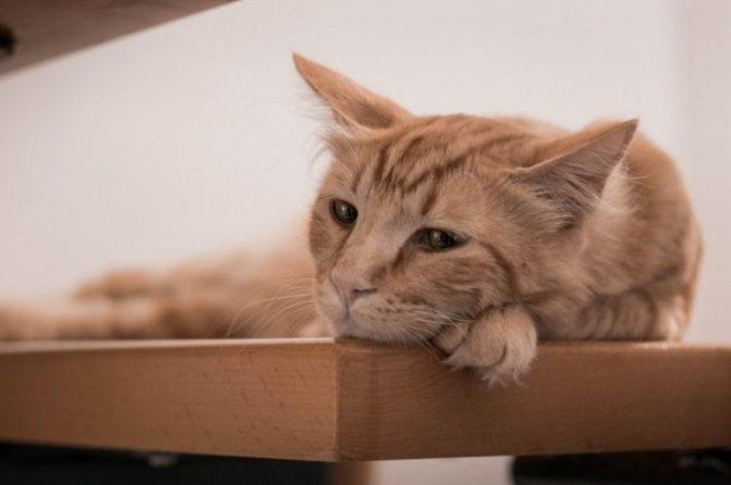 Анемия у кошек - виды, симптомы, причины, лечение. Гемолитическая анемия у кошек