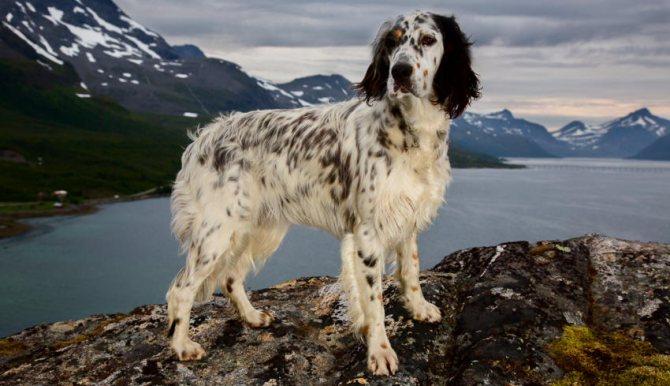 Английский сеттер фото собаки