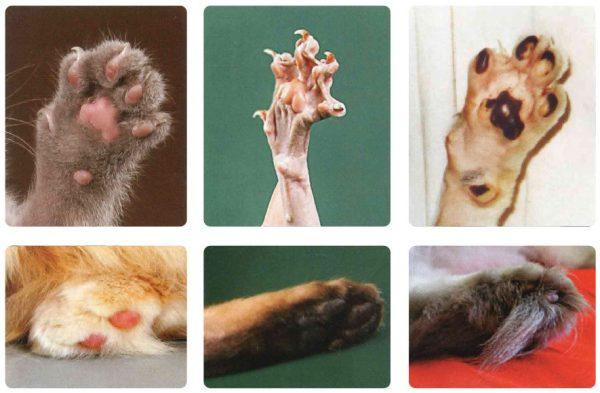 Аномалии развития пальцев у кошек: что делать
