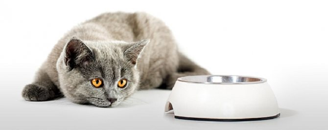 Анорексия у кошек: симптомы