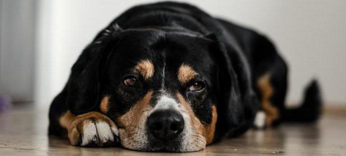 антибиотики при простатите у собак