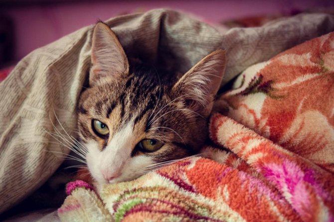 Апатия у кошки
