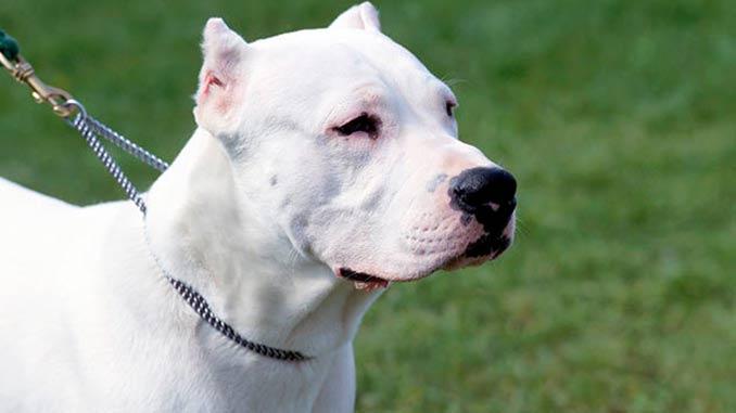 аргентинский дог фото собаки