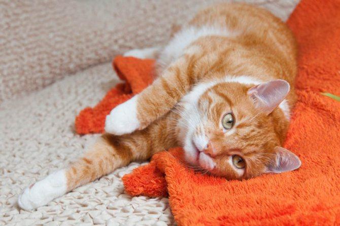 Атония кишечника у кошек: симптомы