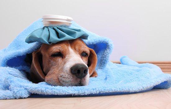 Авитаминоз у собак симптомы и лечение фото
