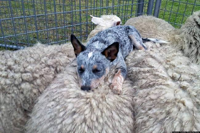 австралийская пастушья собака содержание