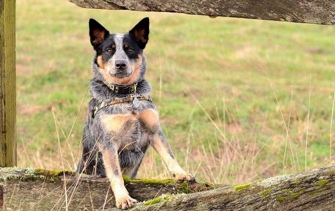 Avstralijskaya pastushya sobaka - Топ 10 самых умных собак в мире