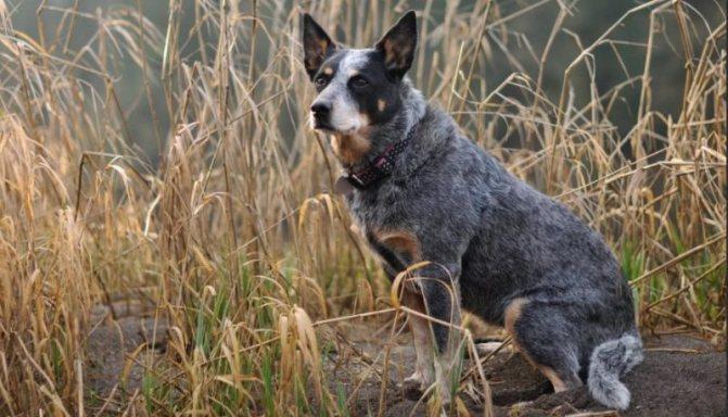 австралийская собака фото