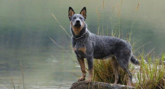 Австралийский хилер фото собаки